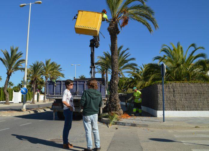 Palm Tree pruning underway in Orihuela Costa