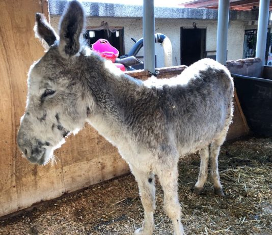 Urgent call for donations as horse sanctuary rescues yet another skeletal and injured donkey
