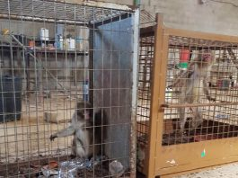 Guardamar macaques to be moved to UK