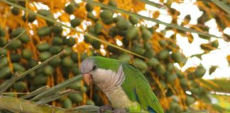 Until recent times Parakeets had been a problem in Villamartin for many years