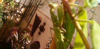 Adult praying mantis.