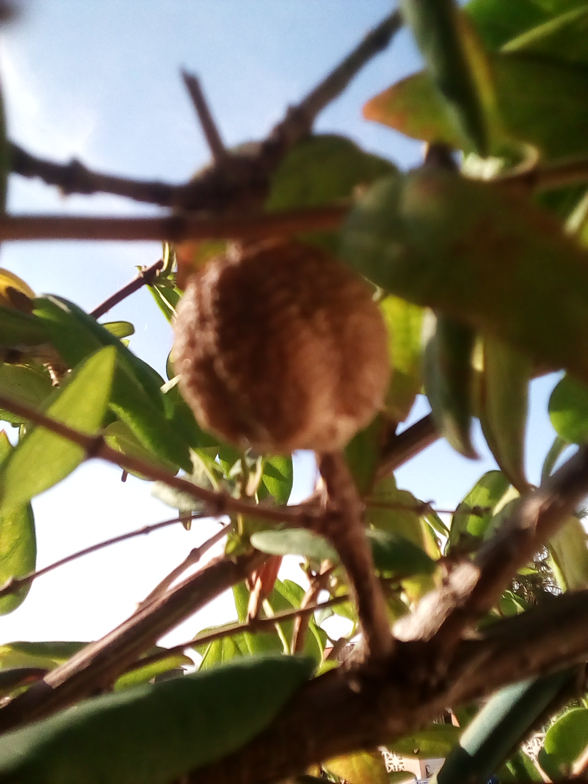 Praying mantis egg sac.