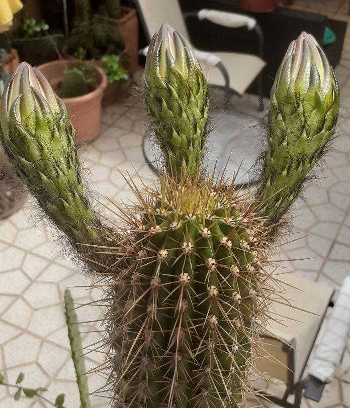 Cactus - Cardón - derived from Spanish cardo 'thistle'