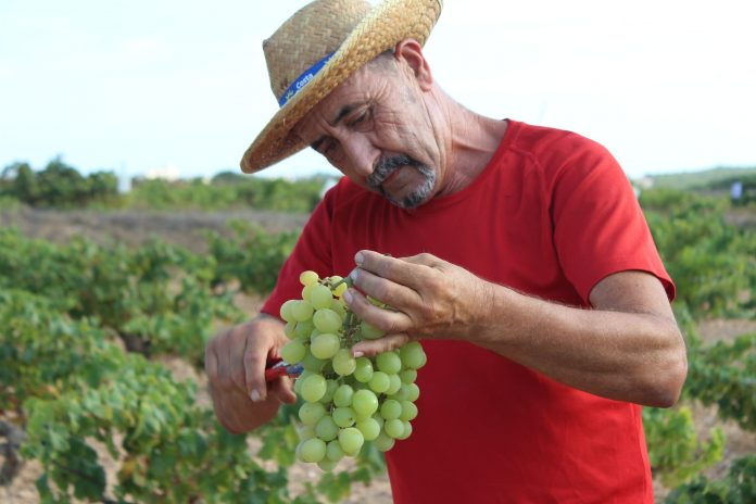 From this vintage the growers say that they expect to get three types of white wine: one aromatic and dry, another with what is known as a flower veil and a third called brisado wine