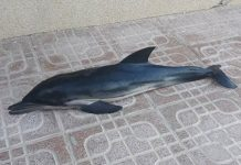 Second Dead dolphin found at Cala Ferrís - Photograph: Courtesy Javier and Crónica Naturales de Torrevieja.