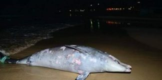 Dolphin washed up in Campoamor with Harpoon wounds. Photo courtesy www.campoamor.com