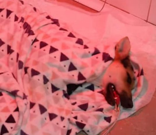 A dog in a coma - after being poisoned in Torrevieja.
