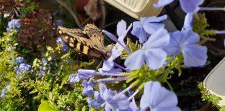Monarch butterfly in Los Montesinos