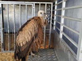 Griffon Vulture in Punta Prima, Orihuela Costa