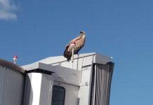 The Vulture perched on a jet bridge at Alicante-Elche airport.