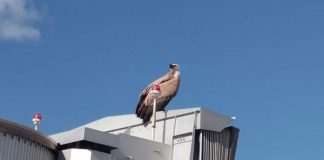 The Vulture perched on a jet bridge at Alicante-Elche airport.