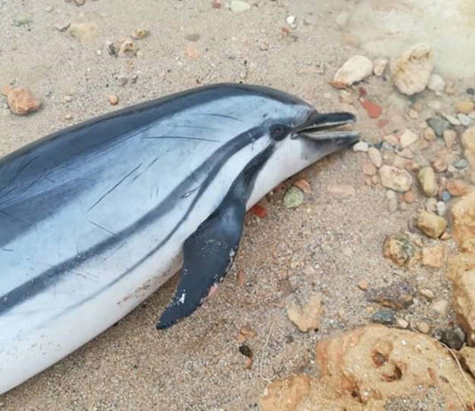 Dead dolphin washed ashore in Torrevieja