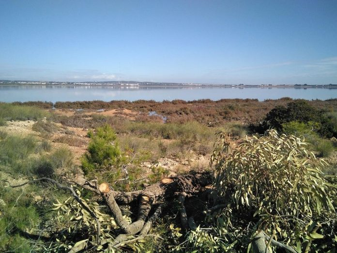 Contractors felled Eucalyptus trees - that had grown as big as 18 metres