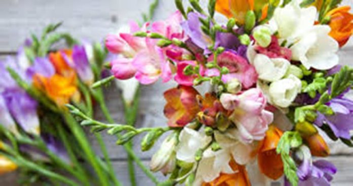Freesias: suited to Costa Blanca winter climate.