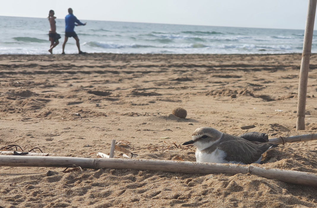 Nests of plovers appear on La Mata beach