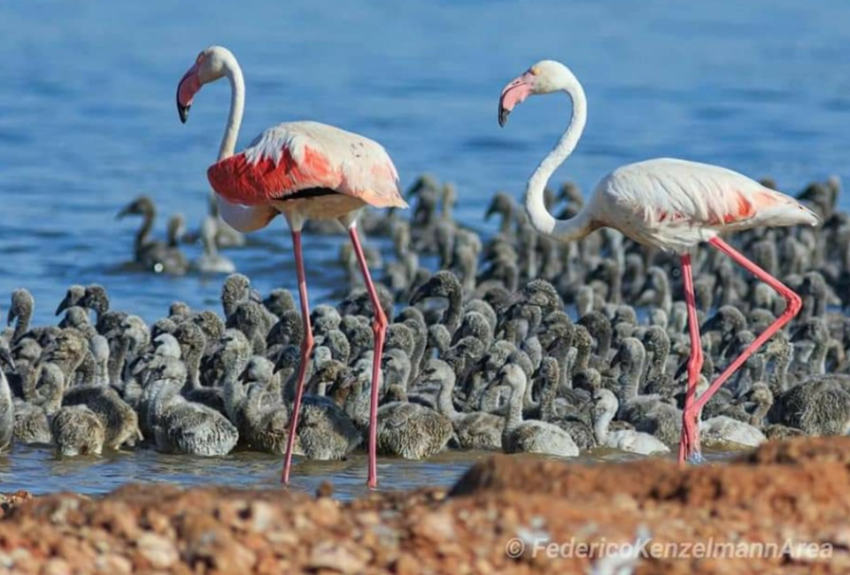 hundreds of flaminglets chicks were born for the first time in Torrevieja.