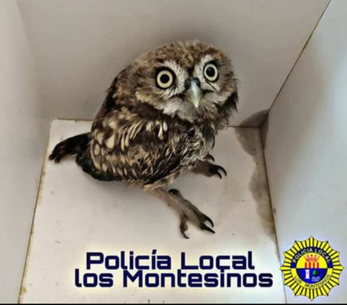 An owlet injured its wing in Montesinos.