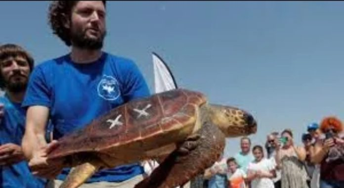 A turtle released into the sea by the Marine Rescue Centre.