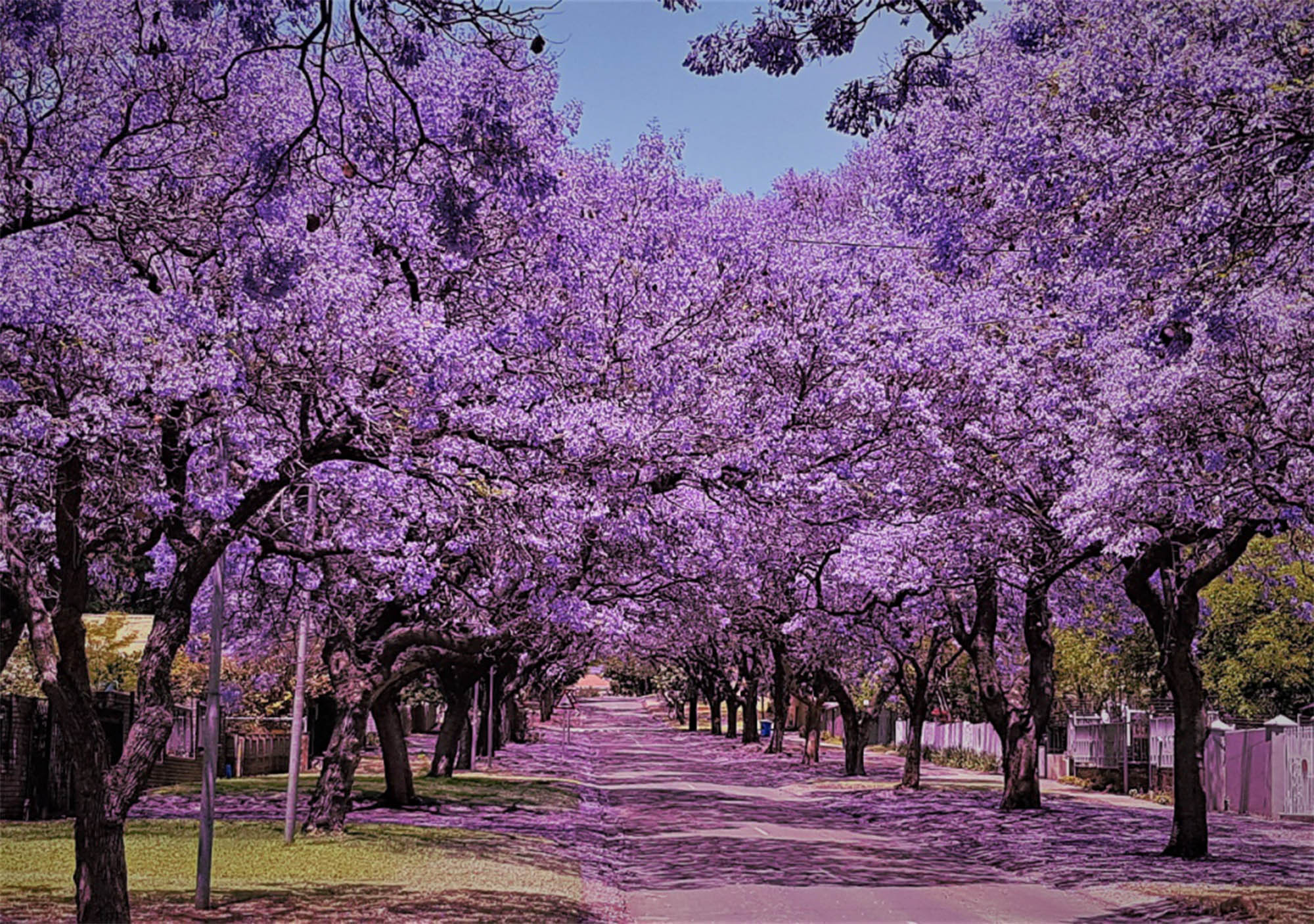 THE spectacular Jacaranda tree - The Leader Newspaper
