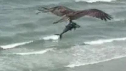 Osprey plucks Spanish mackerel from sea. Photo: Ashley White, Tennessee.