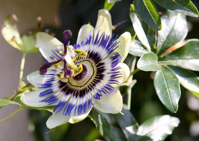 Garden Felix: PASSIFLORA - PASSION FLOWER