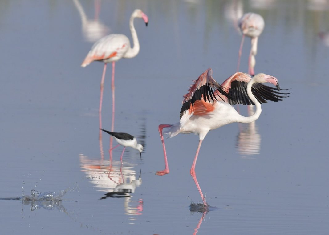 Flamingoes in the Natural Park El Hondo