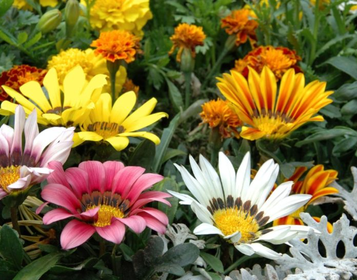 The Gazania flower is often found in the sunny and dry regions of Spain, especially popular in Oliva Nova in Valencia.