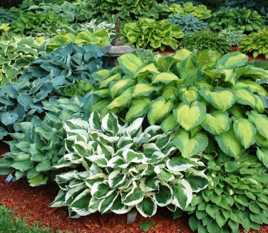 Garden Felix -Hostas drought tolerant perennial ideal for Spanish garden