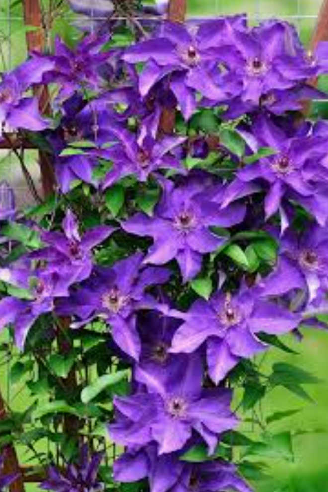 Clematis - popular and attractive flowering vines