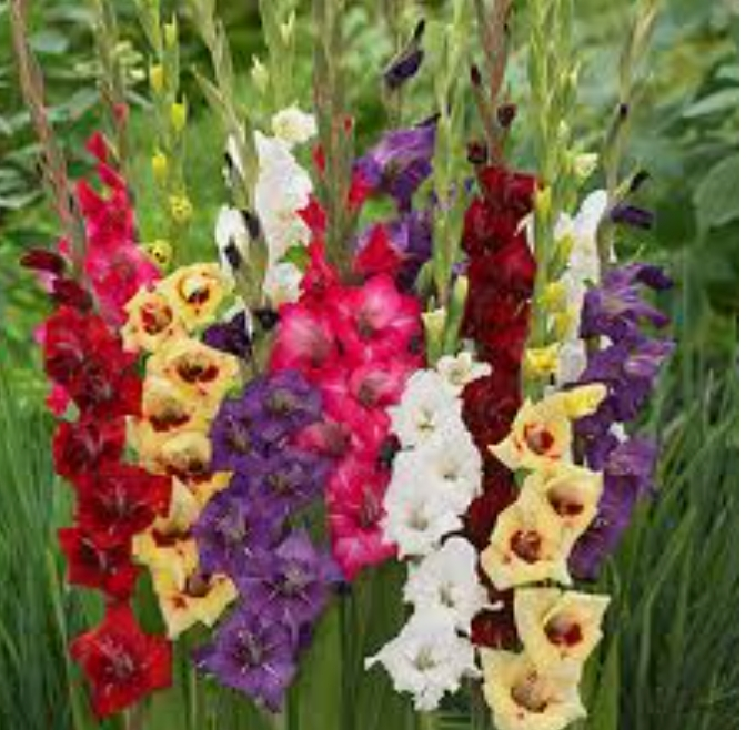 Garden Felix - Gladioli
