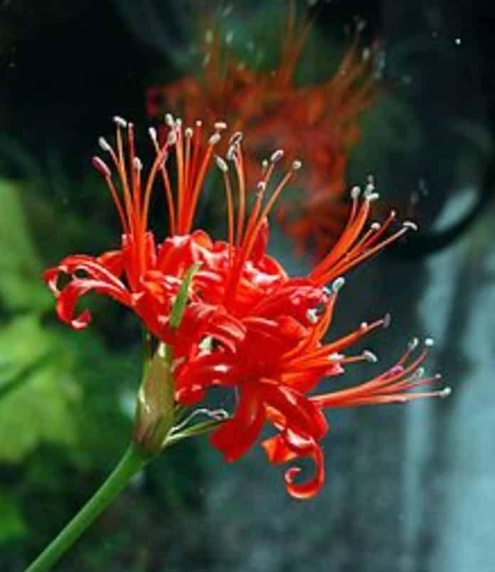 Garden Felix: Nerine and Amarines