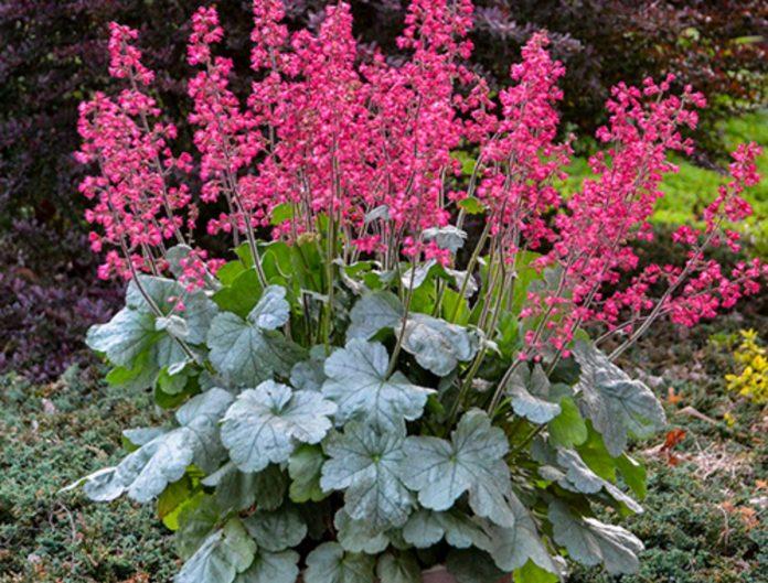 Heuchera bell-shaped flowers