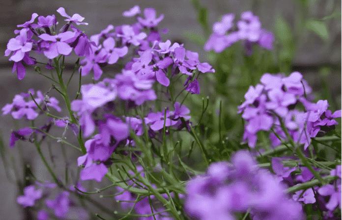 Garden Felix -Sweet rocket 'pretty flowers'