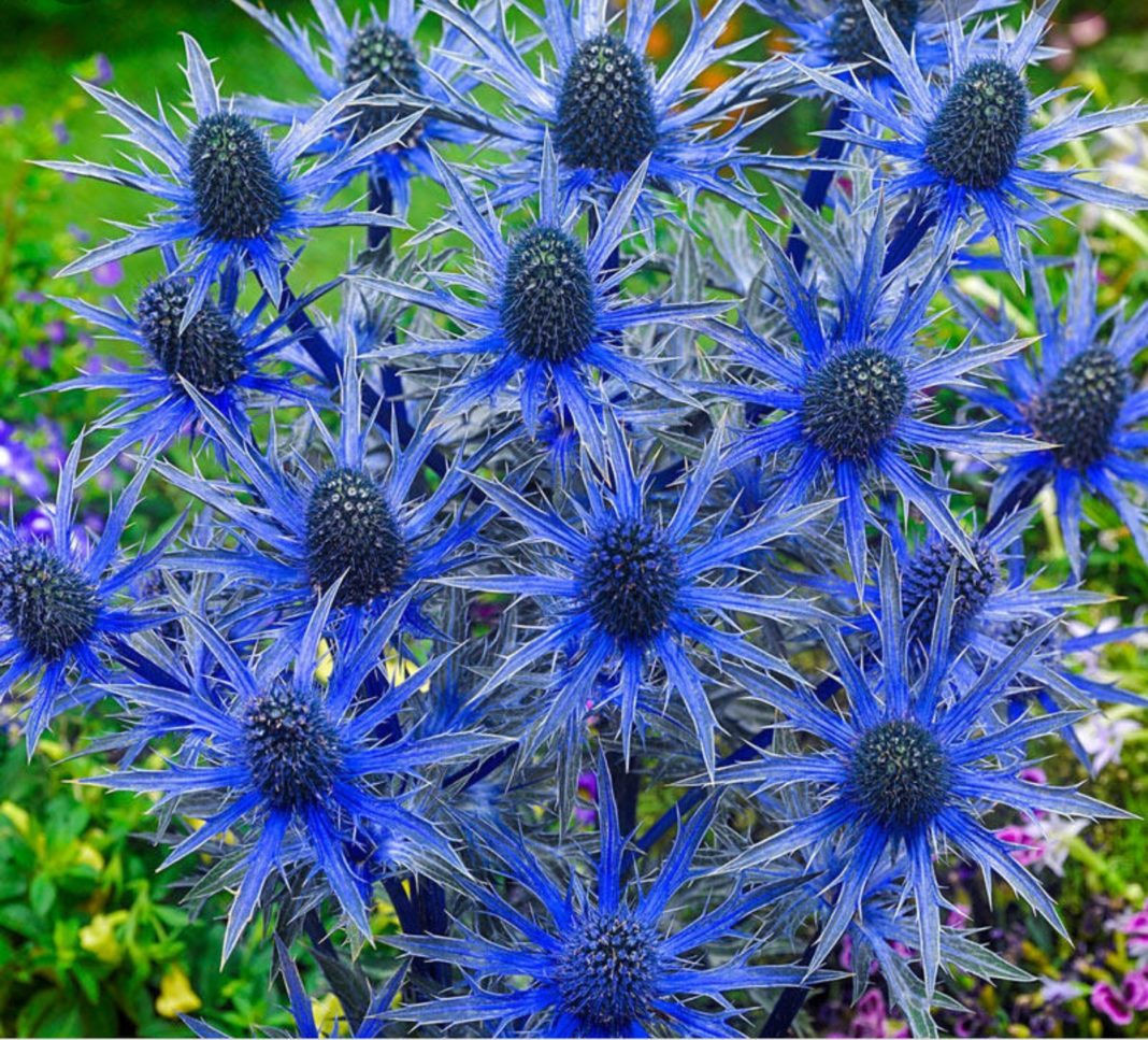 Garden Felix: Sea Holly provide unique fascinating addition to garden