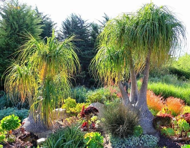 Elephant foot - the Ponytail Palm tree