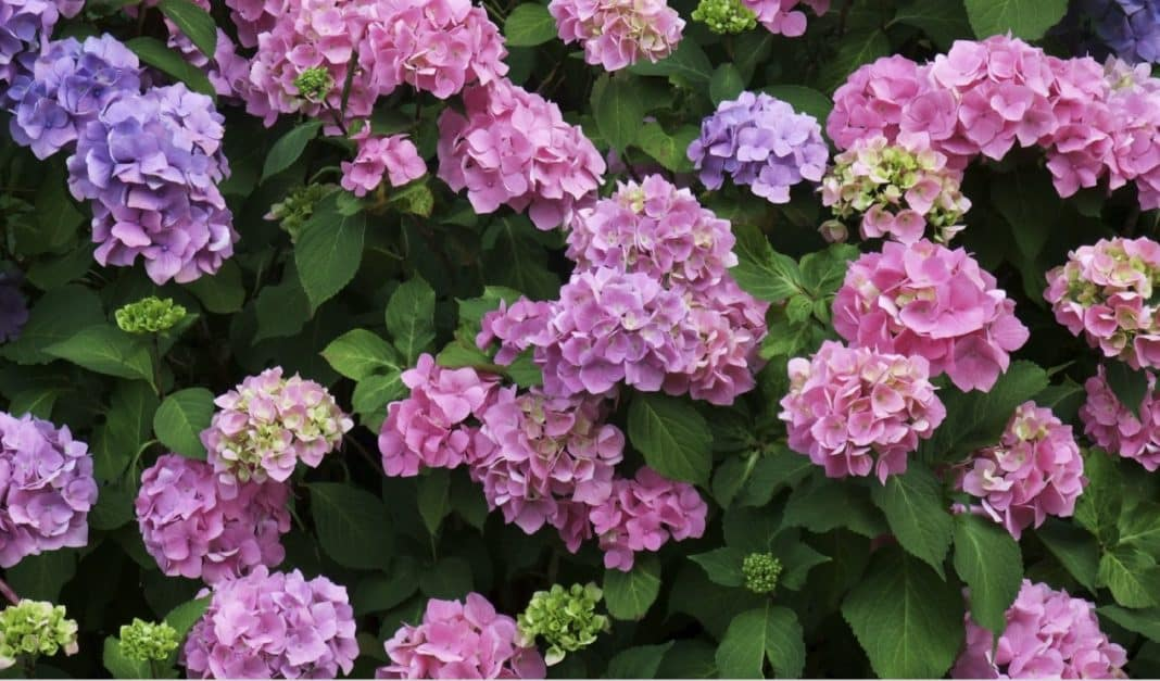 Hydrangea, flowering from spring, summer, into early autumn