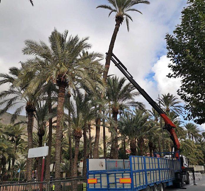 Orihuela fells a monumental palm tree after spending 3,000 euros on its transplant
