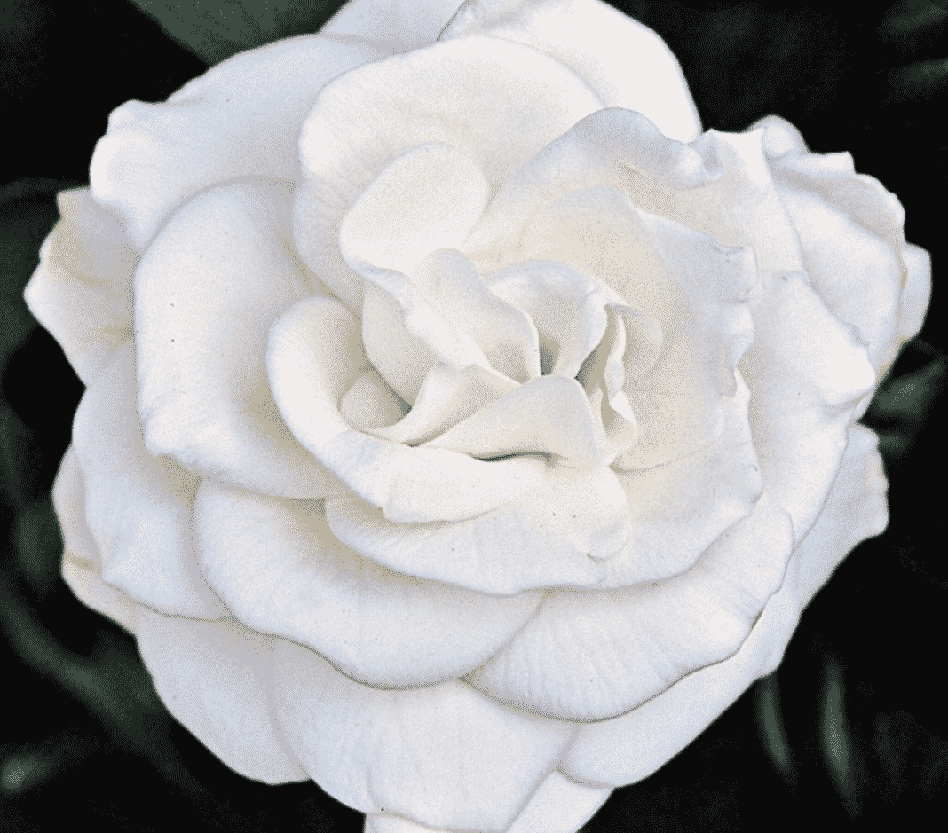Gardenias - show of heavenly spectacular scented white flowers
