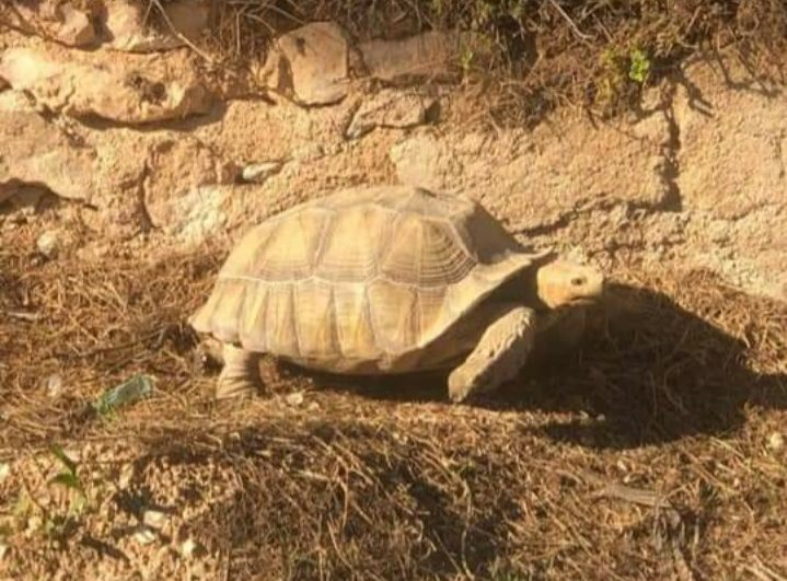 Giant protected African sulcata tortoise in Los Balcones