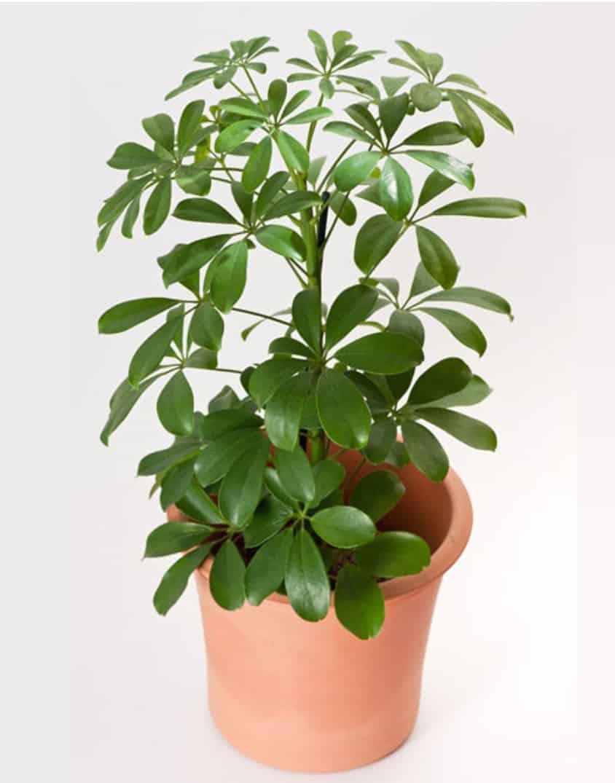 Garden Felix -Unique Umbrella plant