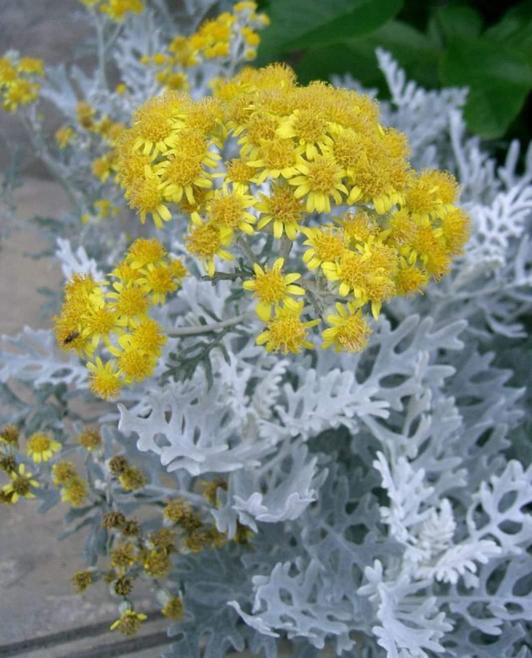 Garden Felix: Silver Dust