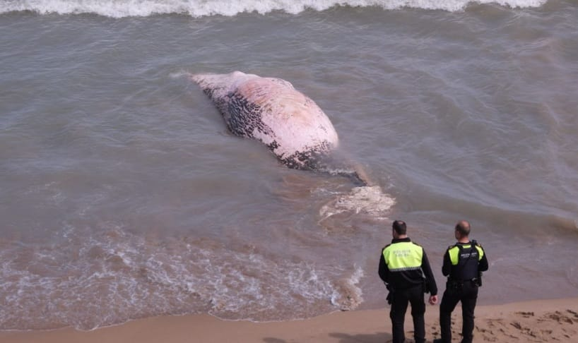 Decomposed whale washed ashore on Guardamar beach