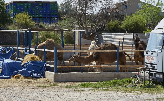 Camels belonging to the company that organised the excursion.