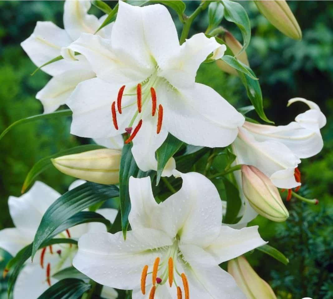 Garden Felix - Casa Blanca classic Oriental Lily