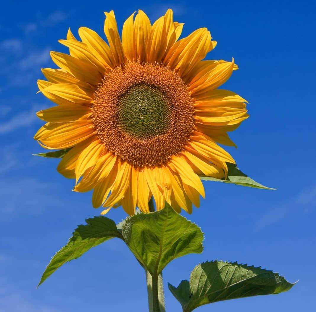 Sunflowers follow the sun!