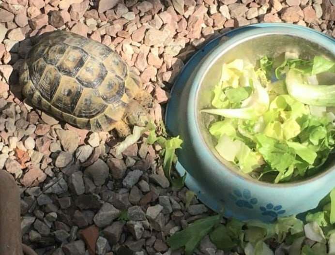 Steve the tortoise back home safe after going AWOL. Photo: Nicola Goff.