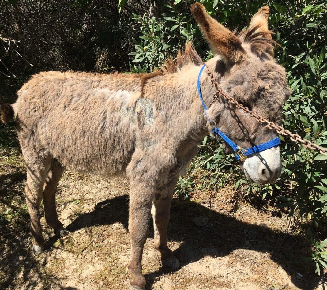 Skeletal donkey is latest resident of Easy Horse CareRescue Centre