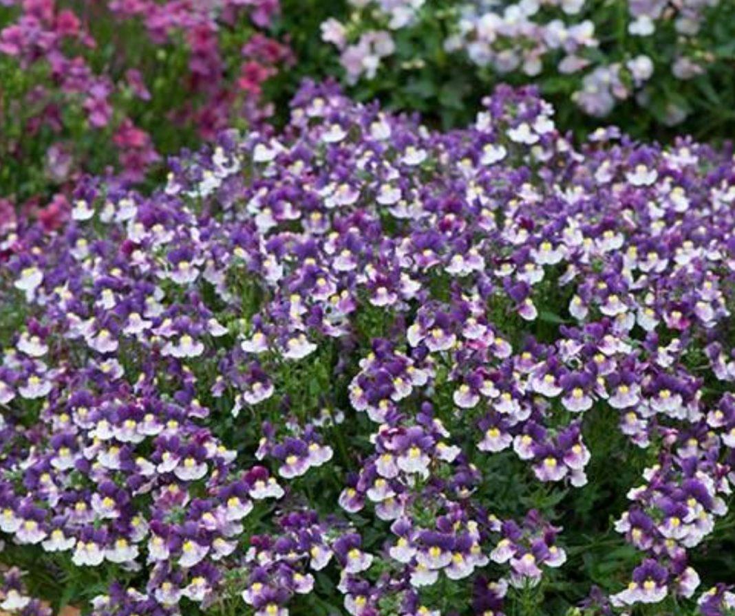 Garden Felix -Nemesia Berries and Cream endless streams of fragrant flowers all summer