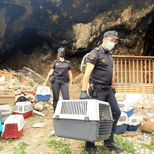 Orihuela Police dismantle cock fighting farm in a cave
