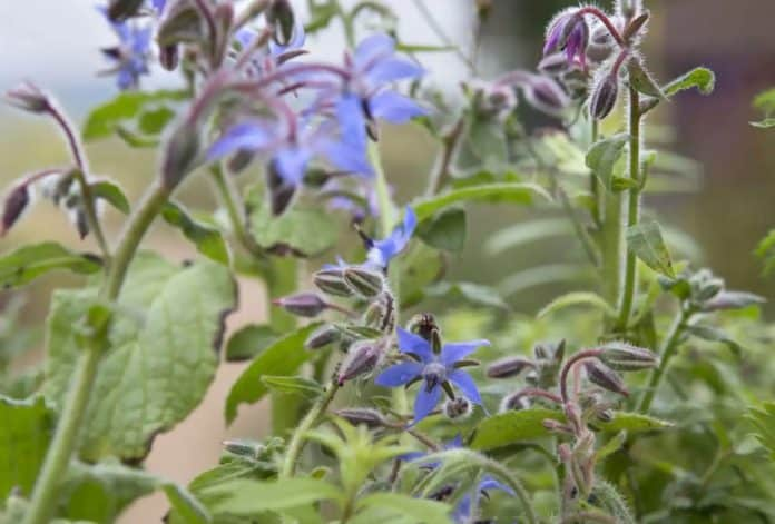 Borage is, also known as bugloss and starflower